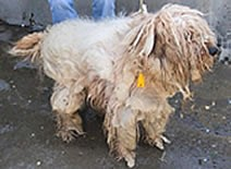 Wheaten terrier badly matted
