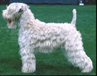 adult wheaten terrier with Irish coat