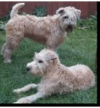 wheaten terrier puppies with Irish coats